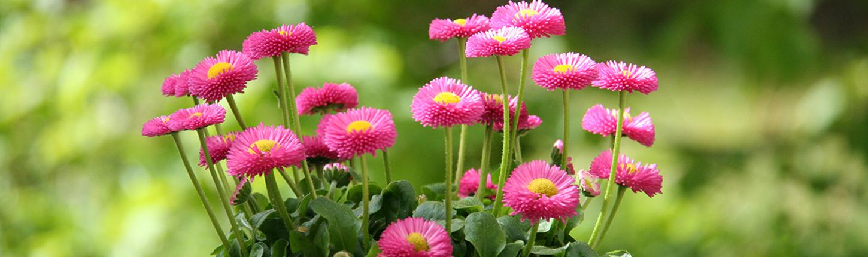 Welche sind die beliebtesten Frühjahrsblüher?