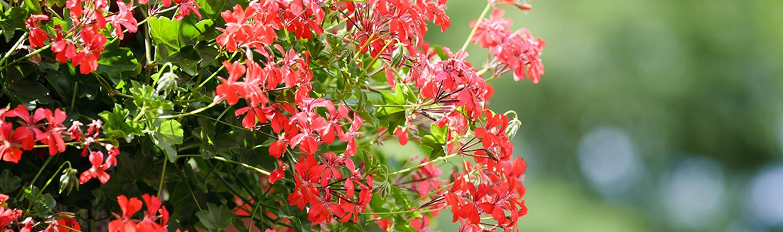 Blühende Beet- und Balkonpflanzen