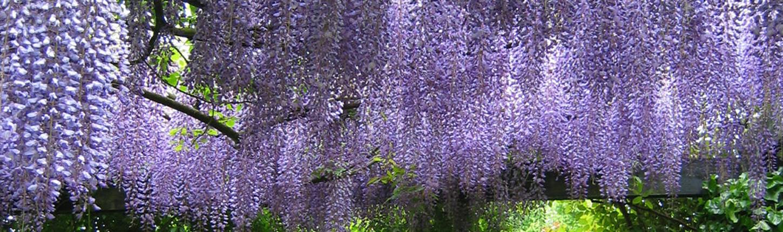 Duftende und blühende Rankpflanzen