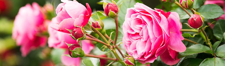 Duftende und blühende Rosen für Ihren Garten