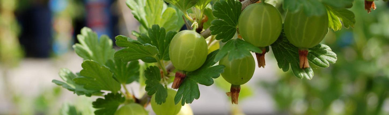 Johannis- und Stachelbeeren